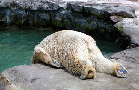 polar bear with hangover