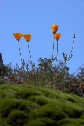 california poppy and moss